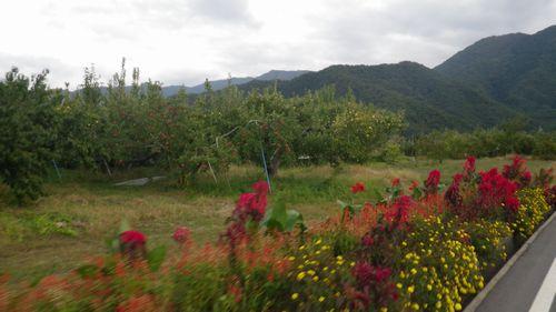 リンゴ収穫時期